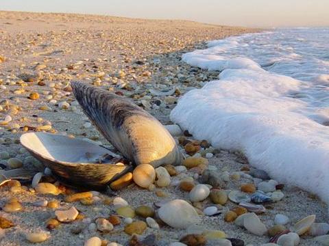 صدف دریایی