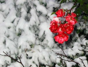 snow-brave-red-roses
